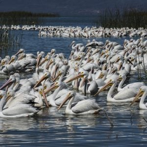 Pelicans of Lake Chapala in Jalisco, Mexico
